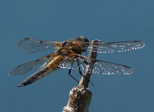 20100603_Four_spotted_chaser_IGP2311