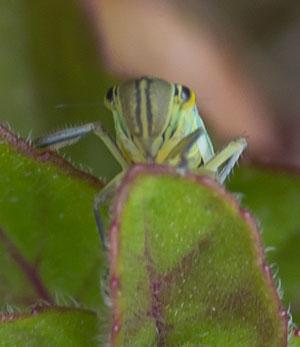 20110707_cicadella-viridis_K5_1330