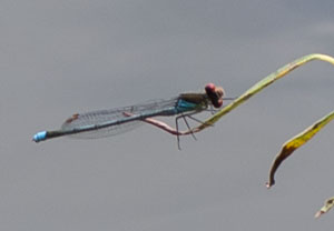 20110707_red-eyed_damselfly_K5_1305