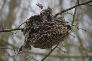 20120301_wasp_nest_K5_2074