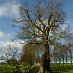 The Radley Oak, January 2005