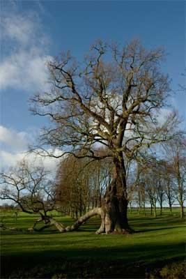 The Radley Oak, January 2005