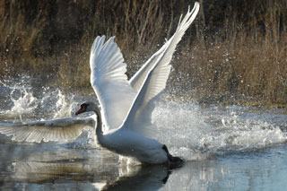 20110208_mute_swans_320