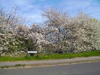 Church-Rd-blossom-22Apr10