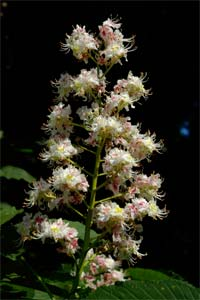 Horse Chestnut candle, photographed 16 May 2004 by L J Pasquire