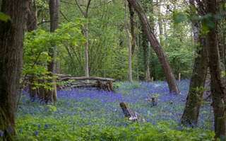 Bluebells, Radley Large Wood