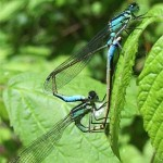 Blue-tailed damselflies, photographed 30 May 2005 by B Crowley
