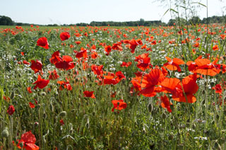 poppies_by_GC_July_2011_320