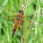 4-spotted Chaser, photographed 02 June 2006 by Jo Cartmell