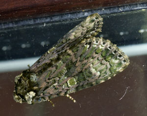 Coronet (Craniophora ligustri) photographed 17 July 2012 by B Crowley