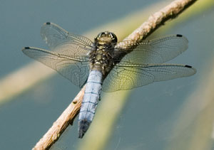 Black-tailed skimmer, photographed 30 June 2006 by B Crowley