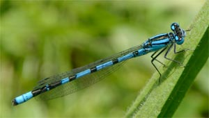 Common blue damselfly, photographed 11 June 2005 by L Pasquire