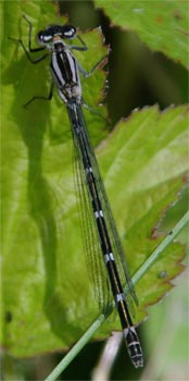 Common blue damselfly - female - photographed 15 May 2005 by L Pasquire