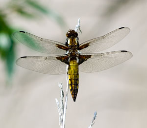 Broad-bodied chaser, photographed 04 June 2006 by B Crowley