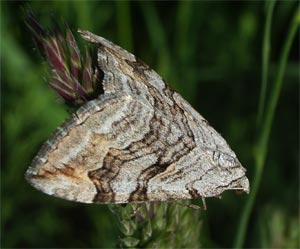 Lesser treble bar, photographed 31 May 2005 by B Crowley