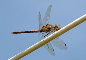 Common Darter, photographed 10 September 2006 by B Crowley