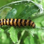 Cinnabar moth caterpillar, photographed 26 June 2005 by B Crowley