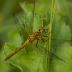 Ruddy Darter, photographed 22 June 2006 by L Pasquire