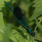 Banded demoiselle, photographed 20 June 2007 by B Crowley
