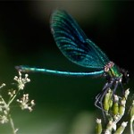 Beautiful demoiselle, photographed 19 June 2005 by L Pasquire