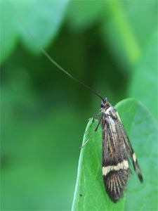 Nemophora degeerella, photographed 30 May 2005 by B Crowley
