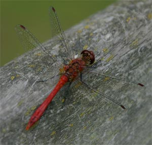 Ruddy darter, photographed 22 August 2004 by B Crowley