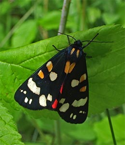 Scarlet Tiger Moth, photographed 26 June 2005 by B Crowley