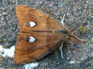 Vapourer moth (Orgyia antiqua) photographed 03 July 2009 by S Calvert-Fisher