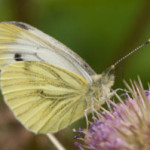 Green-veined white (Pieris napi) photographed 10 September 2008 by L Pasquire