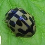 14-spot ladybird, photographed 15 May 2005 by B Crowley