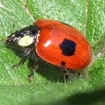 2-spot ladybird, photographed 30 May 2005 by B Crowley