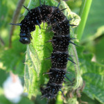 Larva of Peacock (Iachnis io) photographed 10 June 2007 by B Crowley