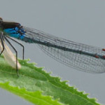 Red-eyed Damselfly (Erythromma najas) photographed 05 June 2010 by J Cartmell