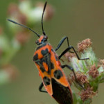 Corizus hyoscyami, a shield-bug, photographed 21 August 2010 by W Ball