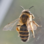 Andrena flavipes - a mining bee, photographed 23 March 2011 by B Crowley