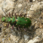 Green Tiger Beetles (Cicindela campestris) photographed 06 May 2011 by J Cartmell