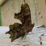 Comma (Polygonia c-album) photographed 19 June 2011 by B Crowley