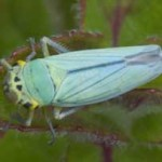 Cicadella viridis - a leafhopper, photographed 07 July by B Crowley
