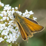 Smakk Skipper (Thymelicus sylvestris) on yarrow, photographed 07 July 2011 by B Crowley.