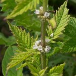 Gipsywort (Lycopus Europaeus) photographed 13 July 2011 by B Crowley