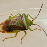 Birch Shield Bug (Elasmostethus interstinctus) photographed 02 October 2011 by S Calvert-Fisher