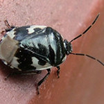 Pied Shieldbug (Tritomegas bicolor) photographed 22 March 2012 by Sue Calvert-Fisher
