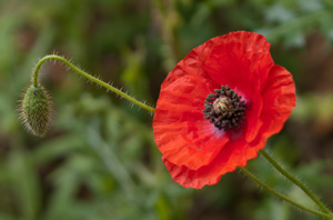 Field poppy (Papaver rhoeas) photographed 20 June 2012 by L Pasquire