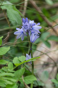 Spanish Bluebell (Hyacinthoides hispanica) photographed 19 May 2013 by B Crowley