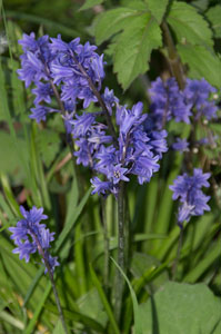 Hybrid Bluebell (Hyacynthoides x massartiana) photographed 19 May 2013 by B Crowley