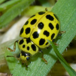22-spot Ladybird (Psyllobora 22-punctata) photographed 14 August 2009 by B Crowley