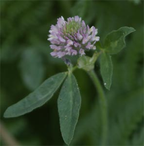 Alfalfa photographed 31 May 2005 by L Pasquire