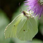 Brimstone, photographed 17 July 2005 by L Pasquire