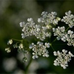 Cow Parsley, photographed 16 May 2004 by L J Pasquire