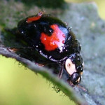 Harlequin Ladybird, photographed 26 July 2008 by S Calvert-Fisher